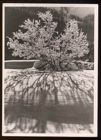 flamboyant arbre a vendre